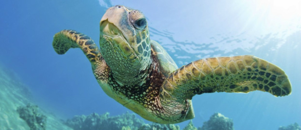 Sea Turtle Safe Window Tinting